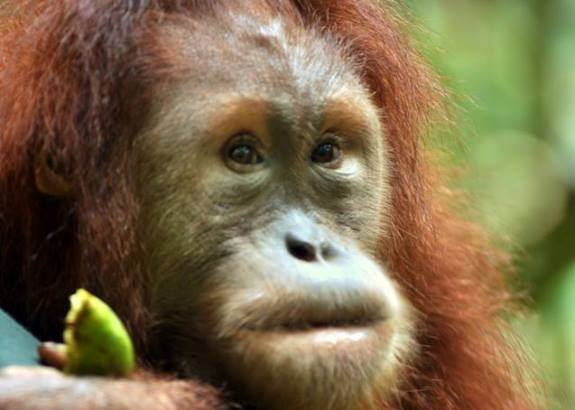 The Orangutan Project 2